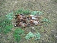 LD Guča - lov na fazane