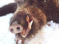 Ulov divlje svinje